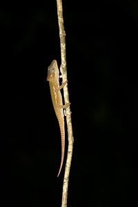 Setaro's dwarf chameleon