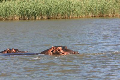 Hippopotamus.  More than a thousand hippos live in Lake St. Lucia