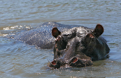 Hippopotamus.  More than a thousand hippos live in Lake St. Lucia