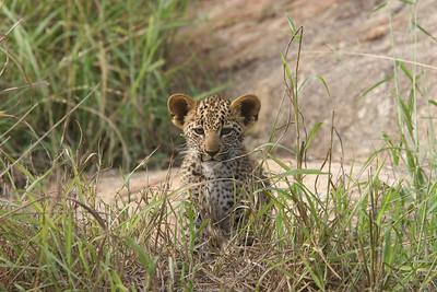 Leopard cubs, 9 weeks old