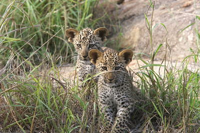 Leopard cubs, 9 weeks old