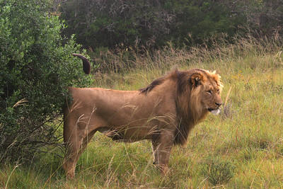 Male lion marking territory