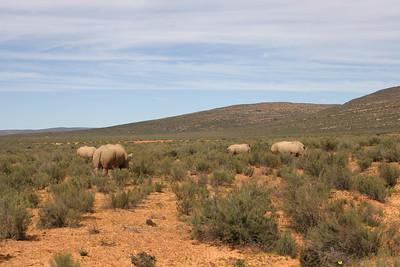 Rhinoceros - White