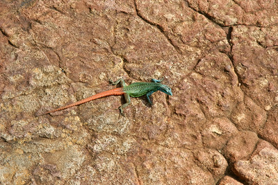 Sekukhune Flat Lizard