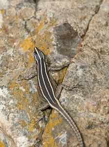 Sekukhune Flat Lizard (Platysaurus o. orientalis)