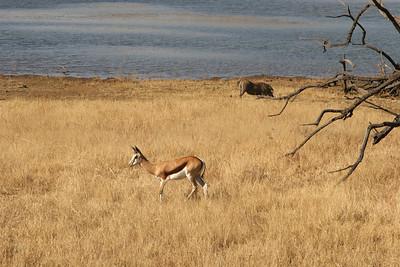 Springbok, Warthog