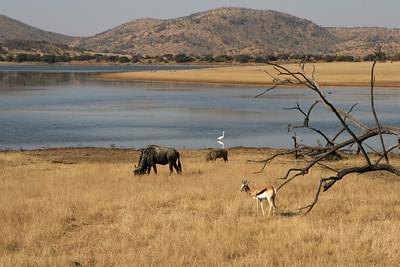 Springbok, Blue wildebeest, Warthog, Egret