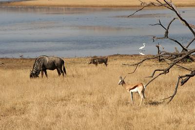 Springbok, Blue wildebeest, Warthog