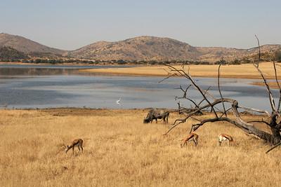 Springbok, Blue wildebeest