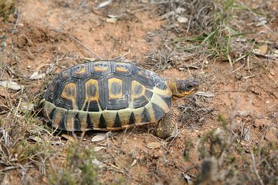 Tortoise, De Hoop Nature Reserve