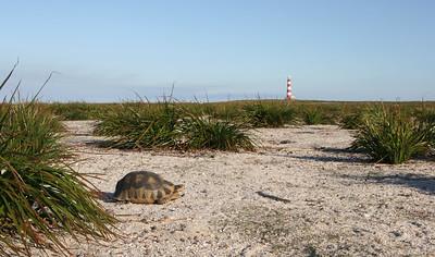 Tortoise, Dassen Island