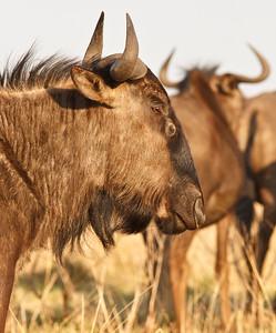 Blue wildebeest (gnu)