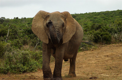 Elephant; Addo National Park; South Africa