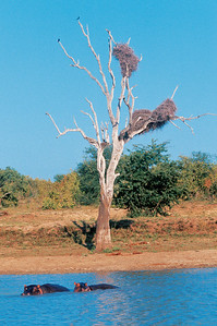 Dead tree with nests, next to waterhole with two hippopotamus in Kruger National Park