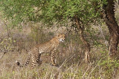 Cheetah cub - 8 months old