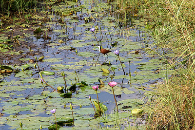 African jacana on a pond with water lilies