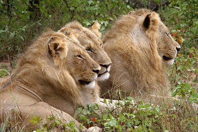 Coalition of male lions
