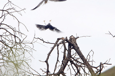 Black-shouldered kite defending its territory from another