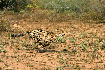 Cheetah cub running - 8 months old