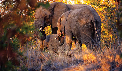 African elephant family, South Africa