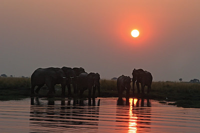 African elephant herd at sunset along the Chobe River in Botswana, Chobe National Park