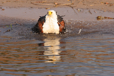 African fish eagle taking a bath