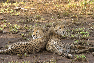 Cheetah cubs - 8 months old