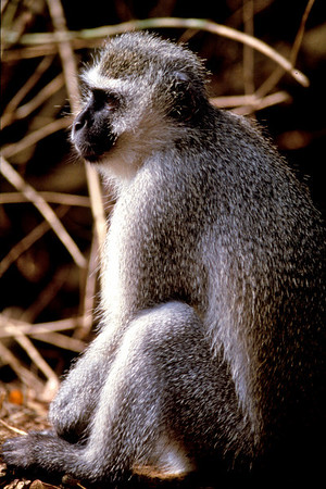 Vervet monkey; South Africa