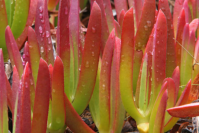 The edible dondievy, closely related to the sourfig, is a rapid growing, spreading succulent plant in the mesemb family.