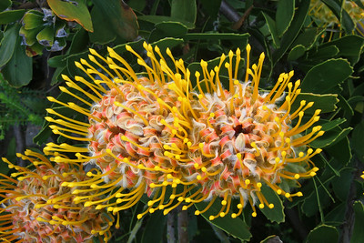 Outeniqua pincushion