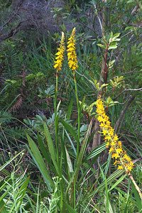 Rooikanol is one of five species restricted to the Cape Floral Region