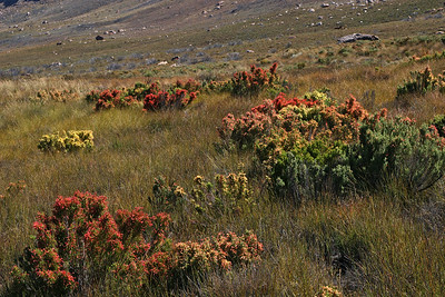 A colorful display of erica near Tafelberg - Cederberg Wilderness.  Of the 658 Erica species confined to the Cape Floral Region, almost 97% are endemic.