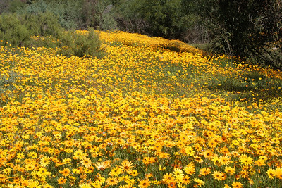 Springtime display of Namaqualand daisies.