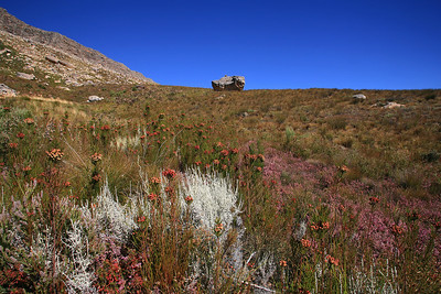 Fynbos near Maltese Cross - Cederberg Wilderness.  The gray leafed slangbos is drought tolerant and called slangbos because of its dense ramification, an ideal temporary hiding place for snakes.