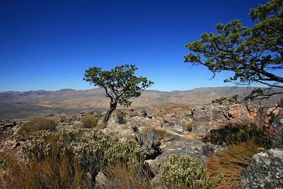 Clanwilliam cedar is one of the largest of the fynbos trees, growing up to 20 meters, Cederberg Wilderness