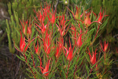 Flowering fynbos on Cape Point Peninsula