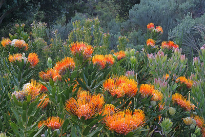 Mossel Bay pincushion