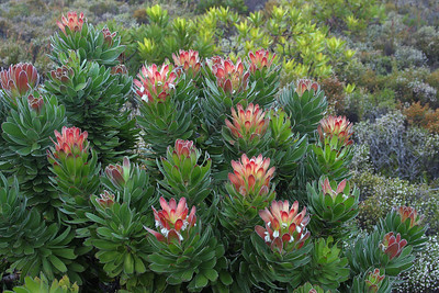 Maahaarstompie, or Tree Padoda, is a member of the protea family which is endemic to the Cape Peninsula