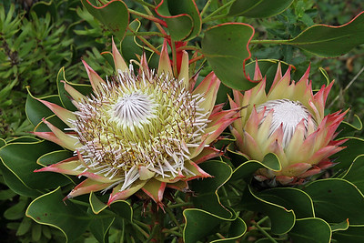 King protea, South Africa's national flower, is one of about 350 members of the protea family confined to the Cape Floral Region