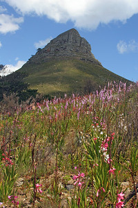 Geophytes on Lion's Head, below Table Mountain in Cape Town.