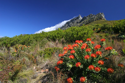 Pincushion on slopes of Table Mountain, Cape Town