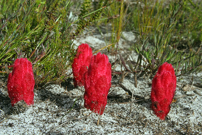 Red broomprape or Cat's Nails, is a root parasite and is one of four species in the Cape Floral Region which lives off surrounding vegetation.
