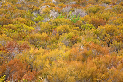 windblown fynbos in the De Hoop Nature Reserve