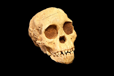 Replica of Taung Child fossil