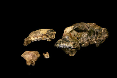 Hominid fossils found at the Cradle of Humankind