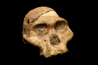 Mrs Ples fossil, the most complete skull of Australopithecus africanus yet discovered at the Cradle of Humankind