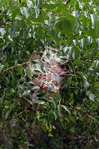Leaf stitching ant nest