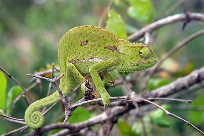Flapnecked chameleon