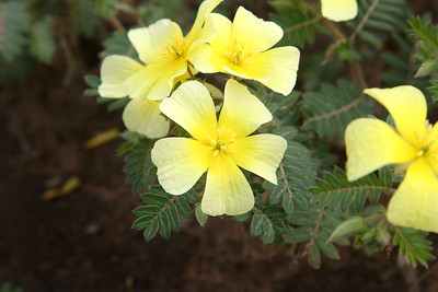 In spring, yellow tribulus carpets the floor of Mapungubwe Cultural Landscape