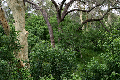Riparian forest along the banks of the Limpopo River